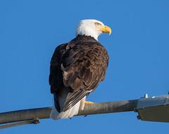 Clover Point Bald Eagle (RebelRob) Tags: britishcolumbia birds birdwatching vancouverisland victoriabc birdsofprey baldeagle haliaeetusleucocephalus