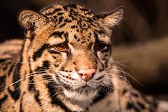 Clouded Leopard #2 3-0 F LR 2-20-18 J087 (sunspotimages) Tags: leopards leopard cloudedleopard cloudedleopards nature wildlife zoo zoosofnorthamerica zoos nationalzoo fonz fonz2018