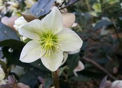 Hellebore (Linda DV (away)) Tags: lindadevolder samsung phone note4 belgium brussels 2018 hellebore ranunculaceae ranunculales ribbet