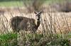 If I Hold Still (Team Hymas) Tags: whitetailed deer ridgefield washington wildlife refuge