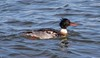 7K8A7418 (rpealit) Tags: scenery wildife nature barnegat lighthouse state park redbreasted merganser bird duck