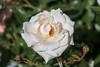 Maig_0077 (Joanbrebo) Tags: barcelona catalunya españa es park parque parc parccervantes 17èconcursinternacionalderosesnovesdebarcelona flors flores flowers fleur fiori blumen blossom rosa rose garden jardí jardín canoneos80d eosd efs18135mmf3556is autofocus