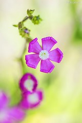 wild flowers (Peideluo) Tags: macrofotografía nature flowers colors flor planta desenfoque