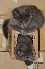 Kitten on Top of Kitten (mikecogh) Tags: seaton kittypalace boxes kittens grey gray cute siblings above fluffy