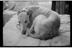 P56-2017-004 (lianefinch) Tags: blackandwhite blackwhite noirblanc noiretblanc bw nb argentique argentic analogique monochrome dog chien lévrier animal