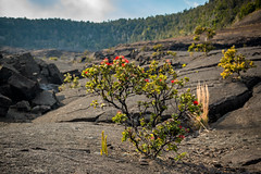 ohia flowers at hawaiʻi volcanoes national park (Sam Scholes) Tags: thebigisland ohiaflower adventure flowers travel getoutside flower vacation hawaiivolcanoesnationalpark hawaii bigisland hawaiʻivolcanoesnationalpark
