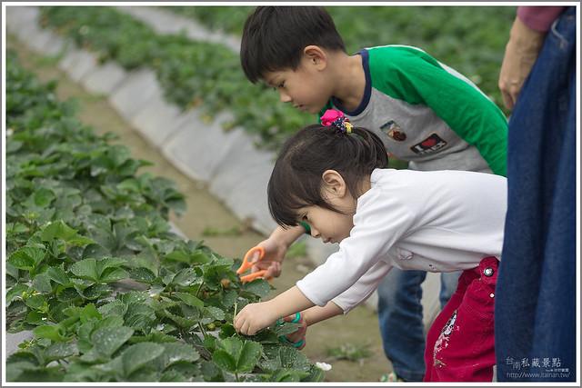 善化草莓 來去晴空農場找無農藥栽種的草莓 (7)