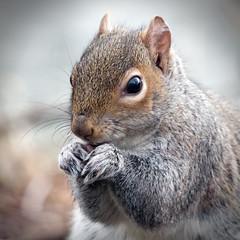 Nibbler (20651) [Explore] (jonathanclark) Tags: spring mammal squirrel eating feeding victoriapark belfast belfastharbourestate public park nature natural wild wildlife explore