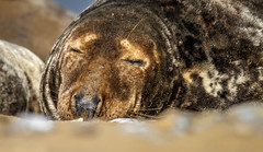 Sleeping Grey Seal. (Tony Smith Photo's) Tags: beach brown closeup coast eye grey isolated mammal marine natural nature norfolk ocean outdoors sand sandy sea seal water whiskers wild wildlife adorable animal animalhead animals aquatic aquaticmammal close cute fat fatanimal fur furry furryanimal gray grayseal greyseal halichoerus halichoerusgrypus lay life lyingdown north northsea nose outdoor peaceful relax relaxbeach relaxing rest resting seals sleep sleepanimal sleeping whisker horsey england unitedkingdom gb