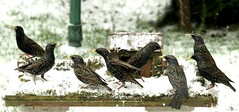 starlings lots in snow (4) (Simon Dell Photography) Tags: snow uk sheffield hackenthorpe s12 simon dell photography 2018 minibeastfromtheeast weather nature wildlife birds