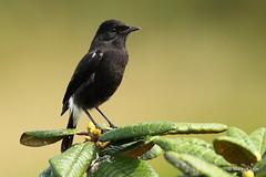 Pied Bush Chat (markus lilje) Tags: markuslilje srilanka highlands piedbushchat bushchat chat bird birds birding saxicolacaprata hortonplainsnp