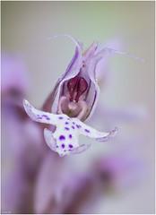 Orchis conica (xisco99) Tags: orchis conica mallorca balears macro extrem componon 50 28 reverse orquidea