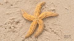 Nature ... (Fernando Fabião) Tags: see starfish sand