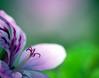 Pelargonie - Pelargonium (Danyel B. Photography) Tags: pelargonie pelargnonium macro makro plants pflanze blume blüte petal blossom bokeh details sharp nature natur münster