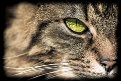 The eye of the cat (Kimoufli) Tags: chat cat gatto gato katz oeil eye oeildechat nikon lightroom d5300 macro micro proxi macrophotographie macrodreams proxiphotographie microphotographie félin animal couleursélective miaou katze