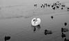20180310-L1000502 (Rene_1985) Tags: leica m 240 zeiss zm 35mm distagon distagont1435 14 bw sw monochrom swan schwan see wasser winter kalt eis ice vogel enten ducks birds