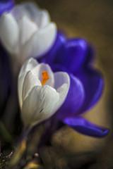 Happy Spring! (WilliamND4) Tags: spring flowers meyeroptikgoerlitztrioplanf28100lens nikond810 crocus