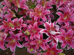 Pictures of Lily (Ben Zabulis) Tags: 九龍 尖沙咀 香港 asia fareast plant hongkong kowloon tsimshatsui lily pink colour colourful hksar nature flowerbed 5photosaday petal lilium stigma stamens