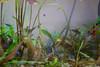 Aquatic Forest (allnights1) Tags: aquarium fish tetra lemon plants