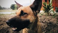 2016-07-28 06.53.52 1 (kidvoldy) Tags: dog cutedog retriever anjingkampung anjing fotoanjing animalportrait animaltheme animalphoto