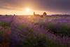Valensole (Olivier Rocq ᕈhotography) Tags: voyagepassionphoto lavande valensole lavender lavandes sunsets sunset provence vpp landscape