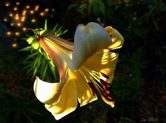 LILIUM LIGHT BOKEH (Lani Elliott) Tags: nature naturephotography lily lilium garden homegarden light bright radiant glowing bokeh darkbackground yellow gold golden stamens excellent beautiful gorgeous wow