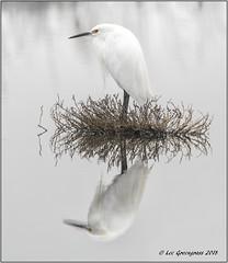 Snowy Egret Symmetry (pandatub) Tags: bird birds egret snowyegret baylands paloalto reflection