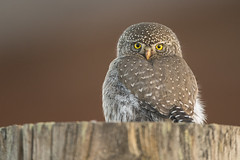 Fencepost Northern Pygmy Owl (Jeff Dyck) Tags: northern pygmy owl northernpygmyowl glaucidiumgnoma strigidae strigiformes fencepost princegeorge bc britishcolumbia birds jeffdyck