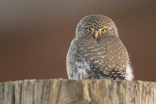 Fencepost Northern Pygmy Owl