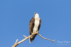Osprey checking out the sky