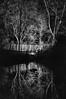 Reflection in B&W (Jan 1147) Tags: reflection reflectie spiegeling weerspiegeling boom bomen tree trees blackandwhite bw zwartwit zw monochroom monochrome depinte belgium
