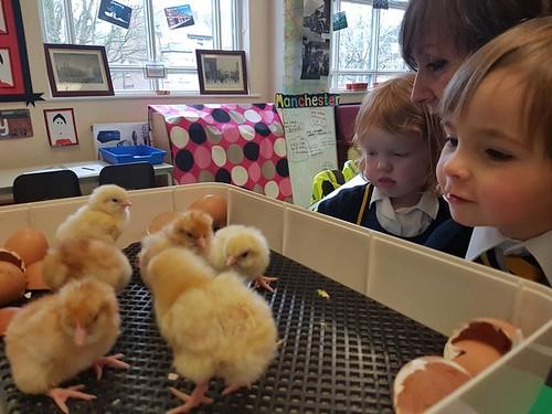 chicks nursery