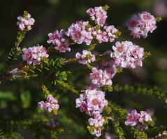 Scholtzia involucrata, Lukin Swamp Reserve, near Perth, WA, 07/12/17 (Russell Cumming) Tags: plant scholtzia scholtziainvolucrata myrtaceae lukinswampreserve perth westernaustralia