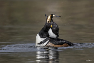 Hooded Merganser / Harle couronné