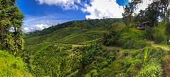 BOH Tea Plantation 2, Cameron Highlands (hathaway_m) Tags: ipoh malaysia tea cameronhighlands