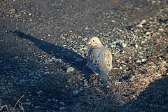 Mourning Dove On Driveway 002 - Zenaida Macroura (Chrisser) Tags: birds bird doves dove mourningdoves mourningdove zenaidamacroura nature ontario canada canoneosrebelt6i canonef75300mmf456iiiusmlens columbidae