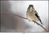 Gros-bec errant, femelle EXPLORE 18-03-21 (dios photographie) Tags: bird birds bassaintlaurent oiseau oiseaux canon canon7dmkii canon7dmarkii canon7dii 7dmkii 7dmarkii 7dii sigma sigmasport150600mm563dgoshsm sigma150600 sigma150600dgoshsmsport sigma150600s grosbecerrant saintantonin