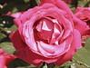 Dank sei für deine Bande (amras_de) Tags: rosen roses rose rosa rosenfest rosenfesteltville eltville rheingau hessen rosengewächse rosaceae rosoideae fleur flower blume ruusut ruža rózsa rós rozen róza rossläktet gül