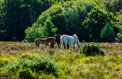 New Forest Ponies (gwpics) Tags: newforestnationalpark england environmental greatbritain nature farming environment three trees tourism animal landscape unitedkingdom summer wild equestrian tree countryside english newforest hampshire animals horse europe uk britishisles agriculture