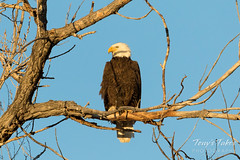 Female Bald Eagle taking a break from the nest