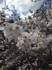IMG_0130 (Coto Language Academy) Tags: iidabashi outside school cherryblossoms