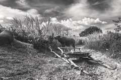 Back in Time (vincent.lecolley) Tags: asia philippines negrosoriental blackandwhite landscape tradition culture agriculture carabao nikon d3300