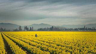 Gray Day Among the Daffodils I