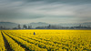 Gray Day Among the Daffodils I (SomethingUWontForget) Tags: mount vernon gray yellow sky daffodils person flower farm skagit valley nikon d7200 blue landscape countryside flowers