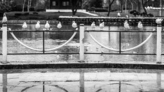 El Sistema / the one who went missing (Özgür Gürgey) Tags: 169 2018 24120mm 24032018 bw bahçeşehir d750 elsistema nikon birds pond rainy seagull symmetry wet istanbul