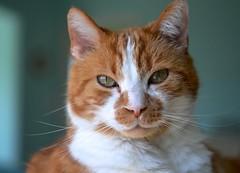 Shallow-focus Portrait - Wk 12 (linda_lou2) Tags: 52weeksof2018 week12 themeshallowfocusportrait categoryportrait cat buddy portrait