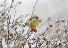 European Greenfinch (El Mariachi Minsk) Tags: bird birds canon canoneos canon7d canonllens canonef70200mmf28lis wildlife wildnature wild wildlifeeurope winter snow animals