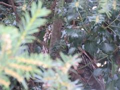 Asio otus (dhobern) Tags: aves strigiformes strigidae asiootus