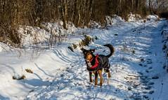 Kiri in the lane (allybeag) Tags: tallentirehill snow winter sunny snowdrifts kiri dog lane path trees