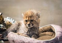 DSC00681 (montusurf) Tags: zoosofnorthamerica cheetah cub baby feline predator fast san diego zoo safari park california nursery little